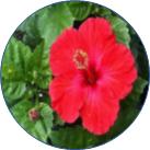 ブッソウゲの花の画像