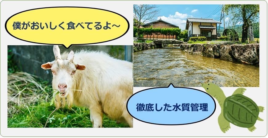 草を食べるヤギときれいな水を飲むすっぽんの画像